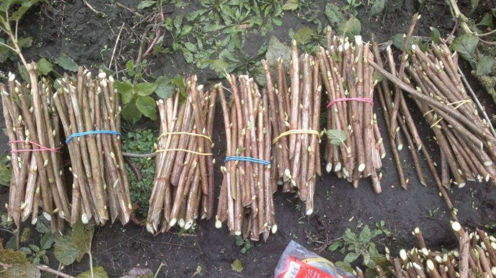 Выращивание черенками черную смородину 577